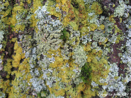 """Lichen""Taken October 13, 2007 with Canon PowerShot A550"