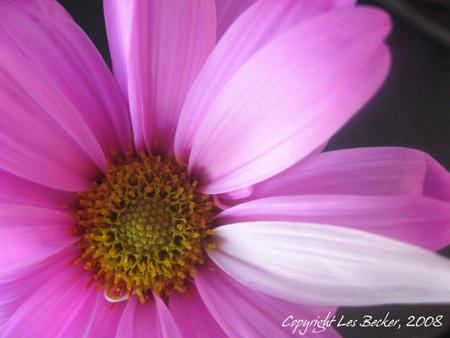 Image: Pink Fantasy