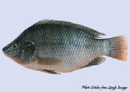 Tilapia - photo